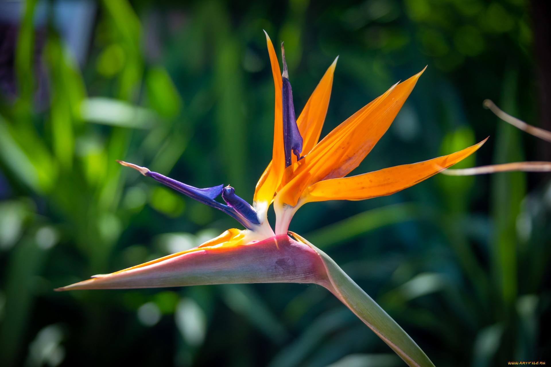 цветы, стрелиция , райская птица, экзотический, цветок